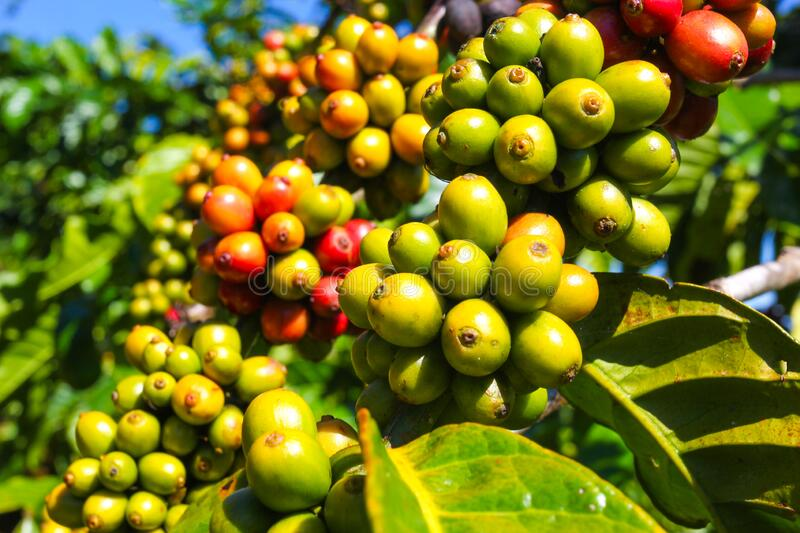 Ripe fruit on the coffee plantations. In the Vietnamese province royalty free stock images