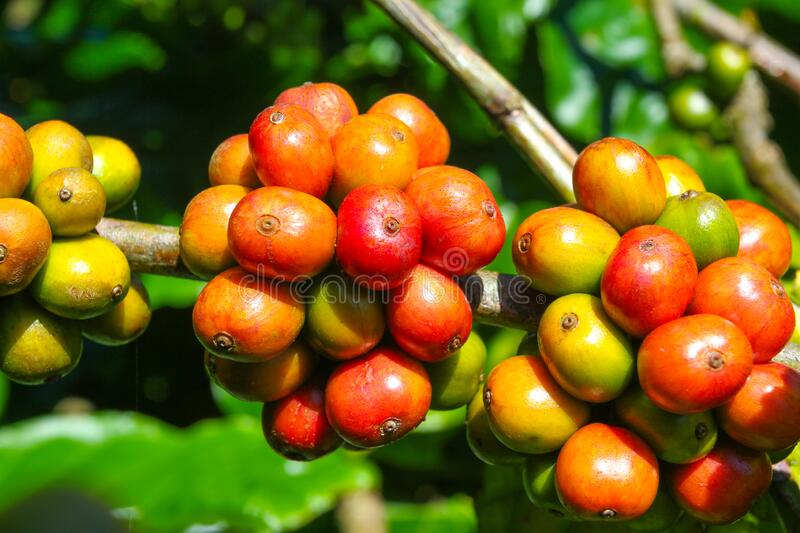 Ripe fruit on the coffee plantations. In the Vietnamese province stock photos