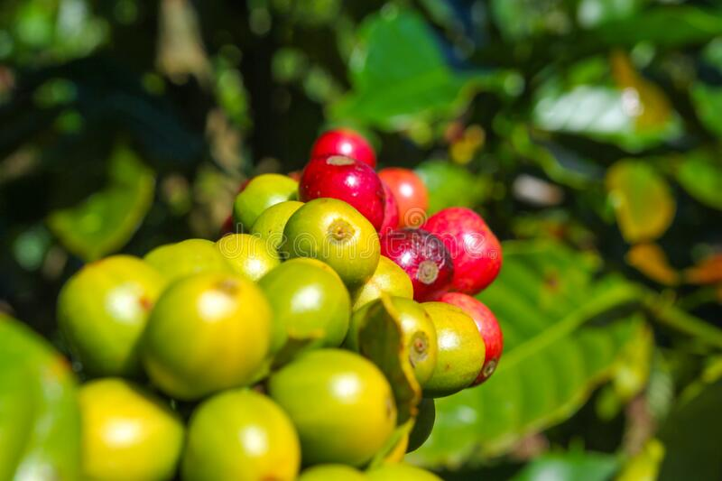 Ripe fruit on the coffee plantations in the Vietname. Se province stock image