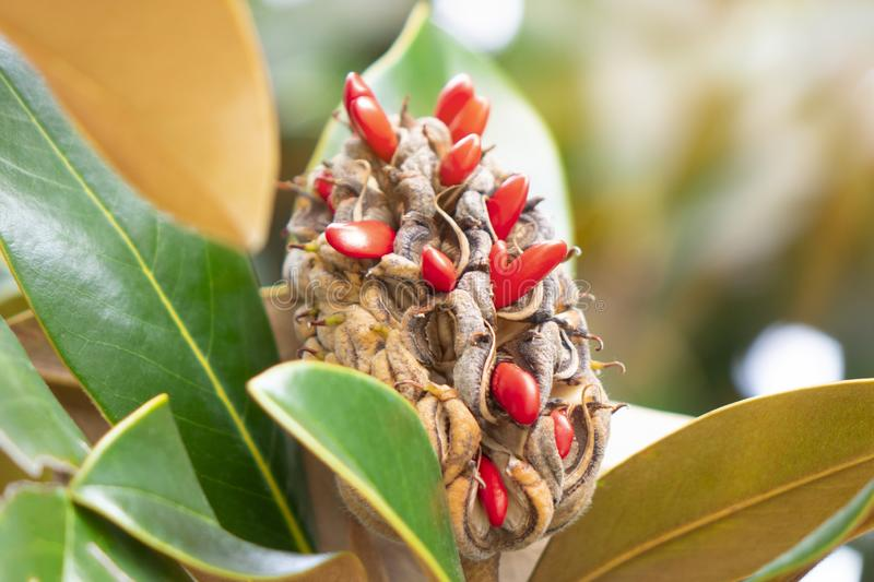 Ripe fruit of magnolia grandiflora with its seeds. royalty free stock image