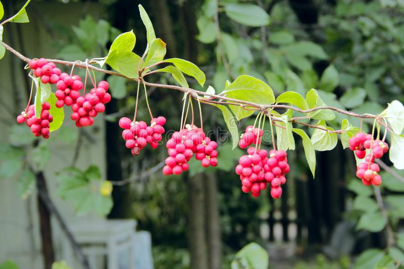 Ripe fruits of red schizandra with green leaves. Red fruits of schisandra growing on branch in row. Clusters of ripe schizandra. Crop of useful plant. Red royalty free stock photos