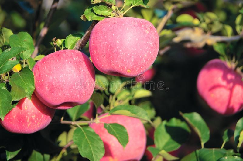 Fuji apple. The ripe Fuji apples are on the tree stock images