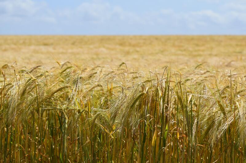 Golden barley field on a hot Summer day royalty free stock images