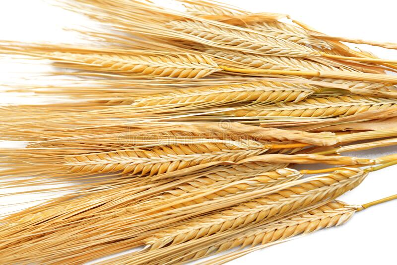 Ripe golden color wheat grains isolated stock image