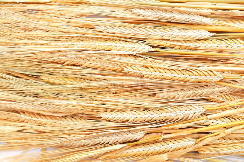 Ripe golden color wheat grains isolated stock images