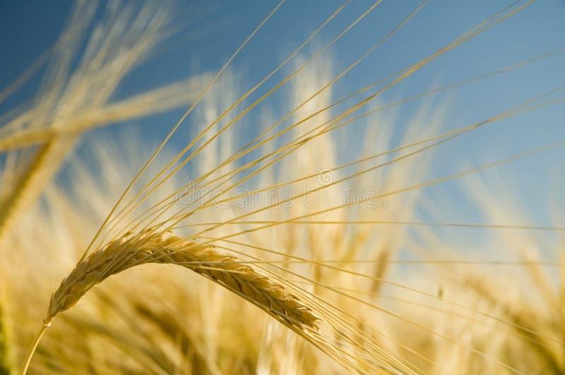 Ripe golden wheat 3 royalty free stock photo
