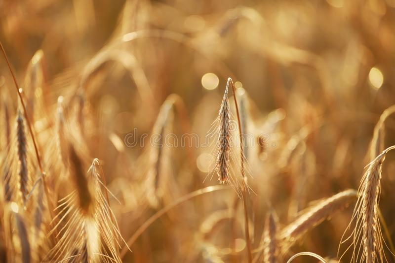 Ripe golden wheat ears in a field in the gentle sunset light. royalty free stock photos