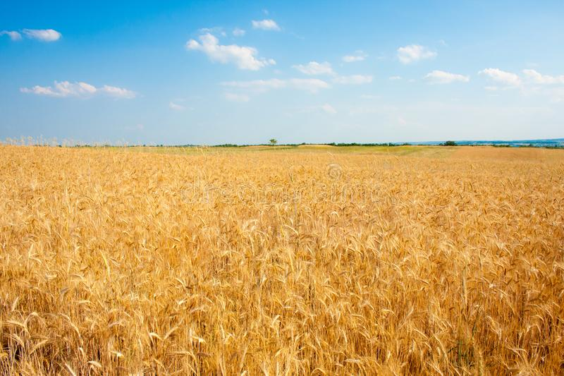 Ripe golden wheat field in summertime stock image