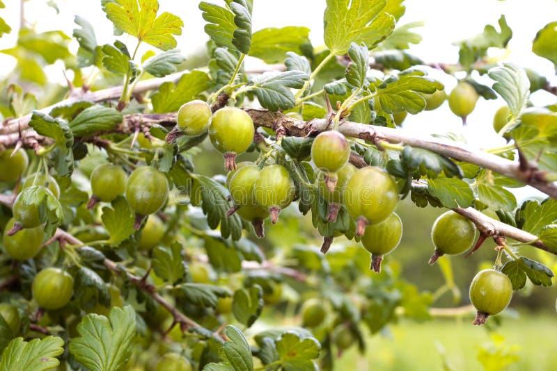 Ripe Gooseberries On  Branch Stock Image
