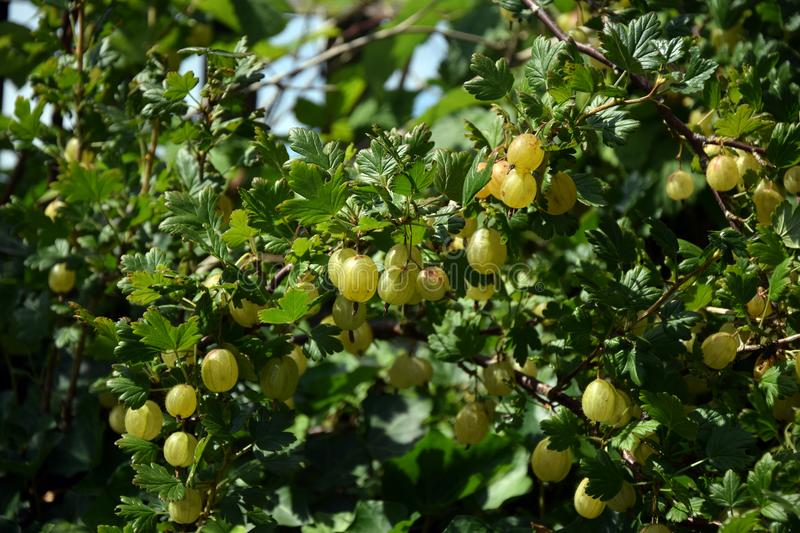Ripe gooseberries on a branch stock photo