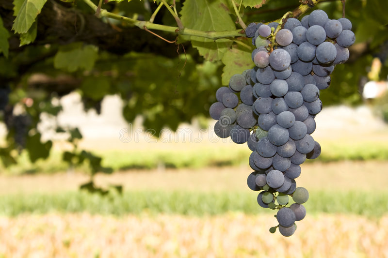 Ripe Grape Cluster Royalty Free Stock Images