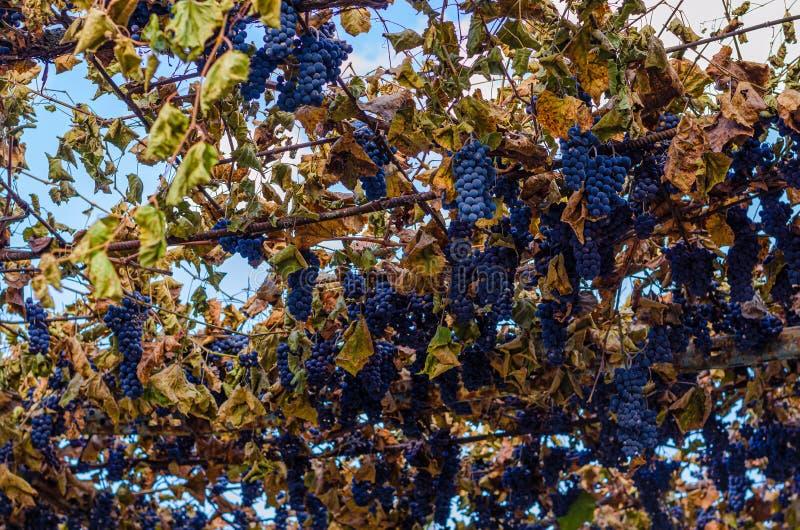 Ripe grape grones in harvesting season. Autumn. Background royalty free stock image