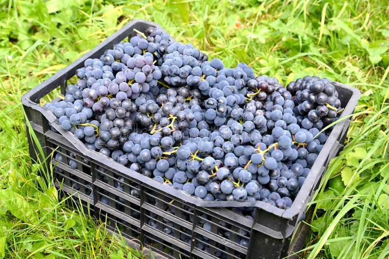 The ripe grape of Isabella variety lies in a drawer on the grass stock photo