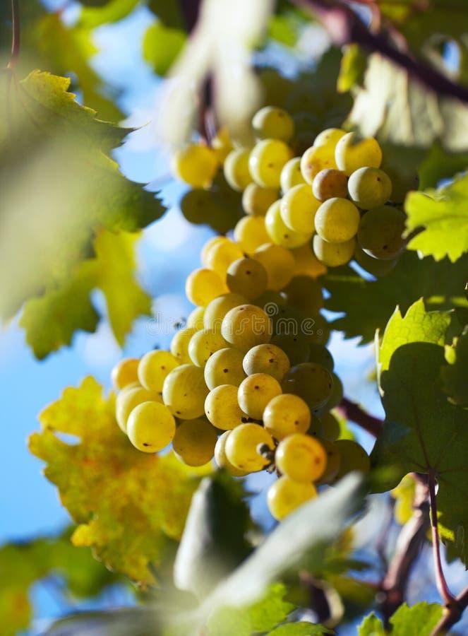 Download Ripe grapes stock photo. Image of hanging, harvesting - 12546186