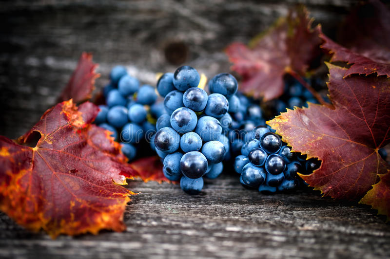 Ripe grapes on autumn harvest at vineyard with leaves and dark stock images