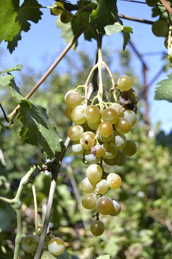 Ripe grapes on a branch stock photos