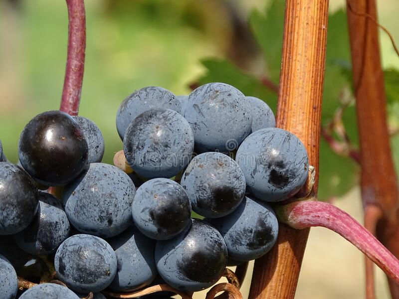 Ripe Grapes During Daytime Free Public Domain Cc0 Image
