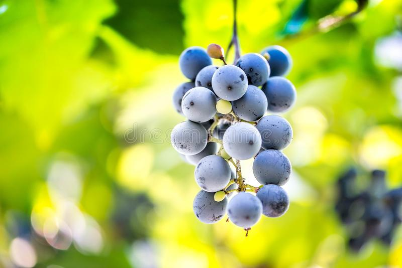 Ripe grapes hanging on a branch between green leaves stock photo