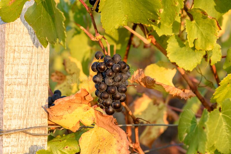 Ripe grapes hanging on a French vineyard, beautifully lit during sunset stock images