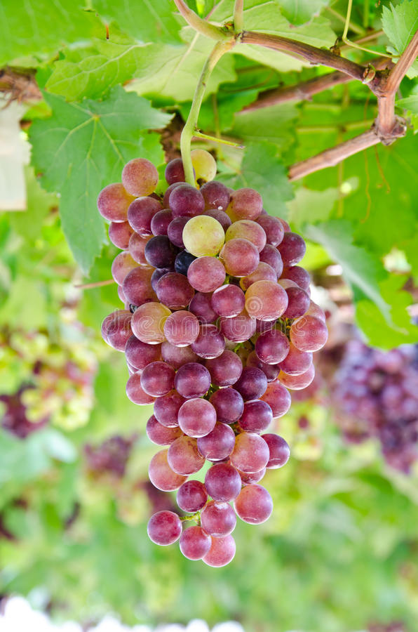Free Ripe Grapes In The Vineyard. Stock Photos - 27175733