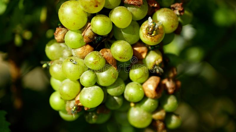 Ripe grapes and ripeness in viticulture, white wine and common green bottle fly Lucilia sericata blowfly or blow flies stock photos