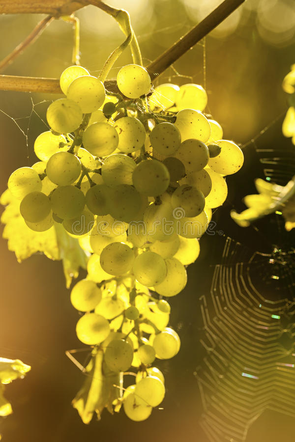 Ripe grapes in sunlight. Grapes on vine, backlit by the sun