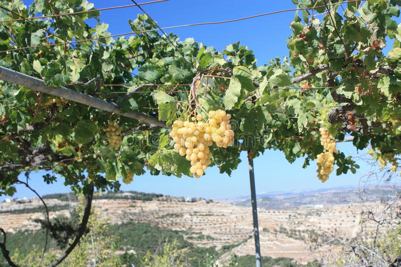 Download Ripe Grapes On The Vine stock image. Image of background - 16787653