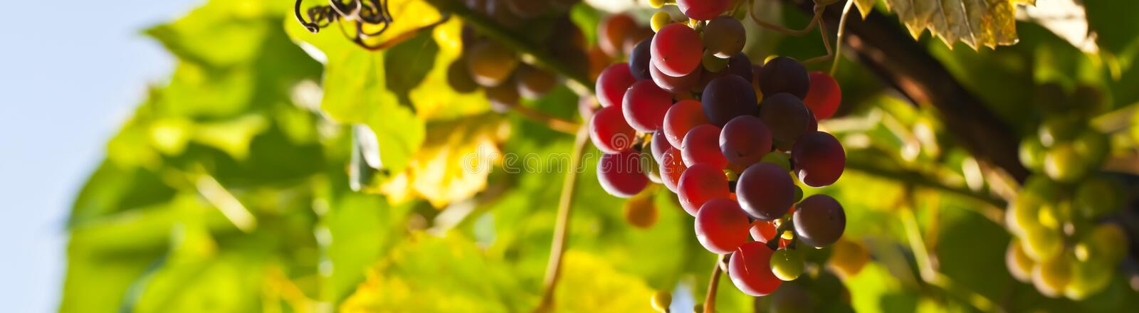 Download Ripe grapes on vine stock photo. Image of fruit, grapes - 26766416