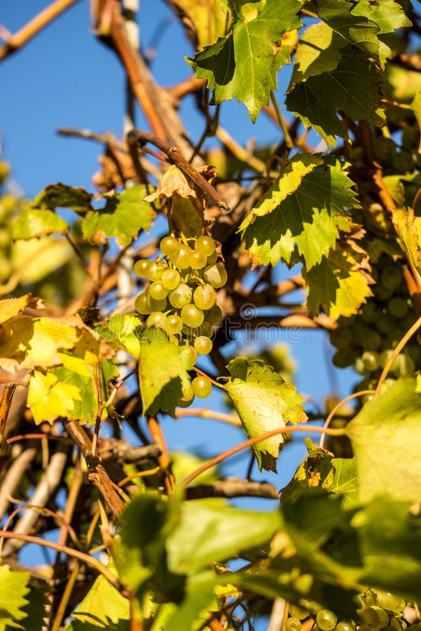 Ripe grapes with blue sky stock image