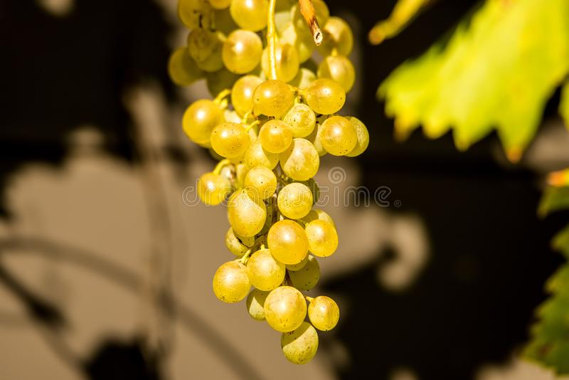 Ripe grapes at a wall royalty free stock images