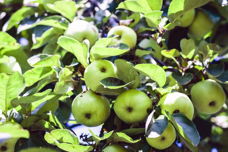 Ripe green apples on a tree branch in a fruit garden on a sunny day stock photo