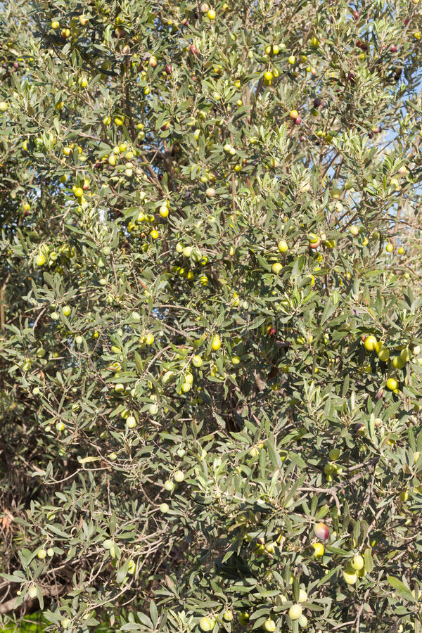 Download Ripe Green And Black Olives On Tree Royalty Free Stock Photography - Image: 18917647