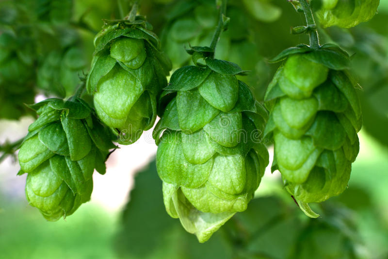 Ripe green hop cones stock photography