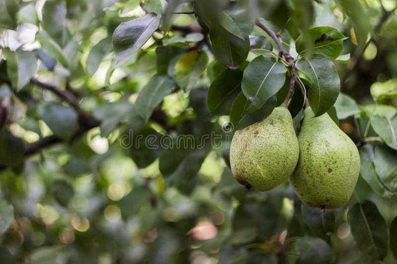 Ripe green pears grow on the tree in the garden, healthy stock photo