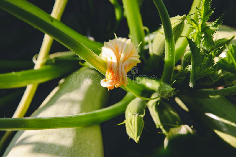 Ripe green zucchini. Growing in garden. Concept agriculture stock images
