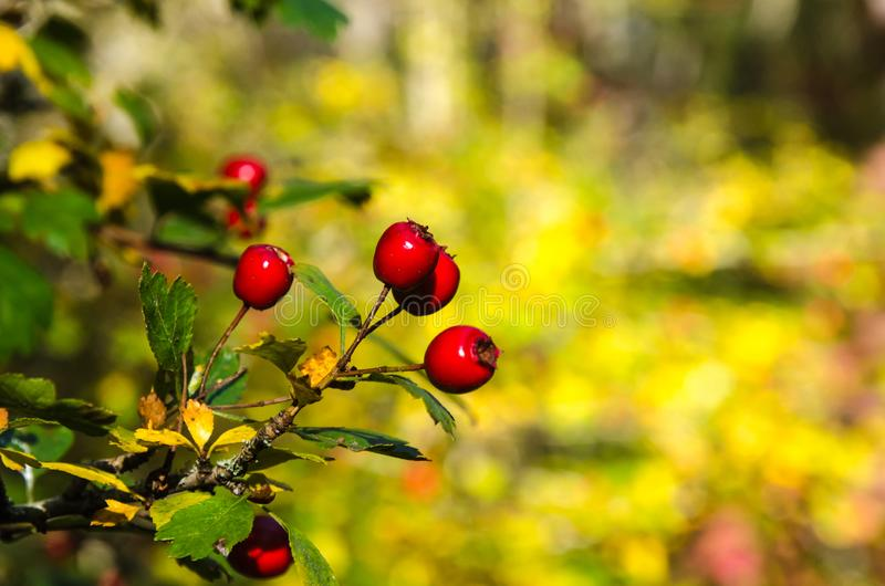 Ripe Hawthorn berries on a twig royalty free stock photography