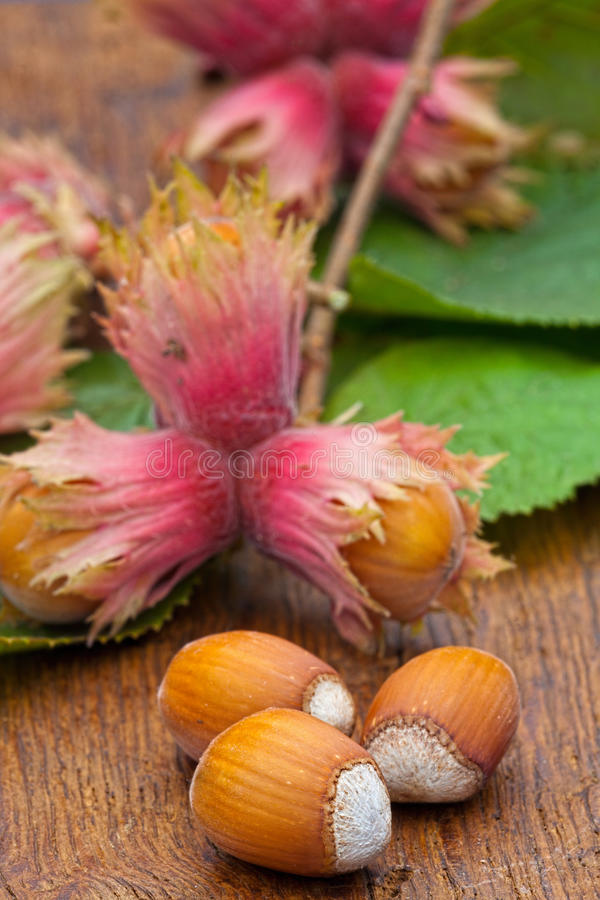 Ripe Hazelnut fruits. Macro of natural Hazelnut fruits and leaves from the tree on old wooden board stock image