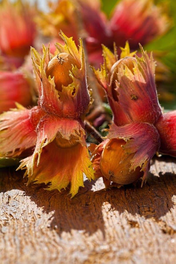 Ripe Hazelnut fruits royalty free stock photography
