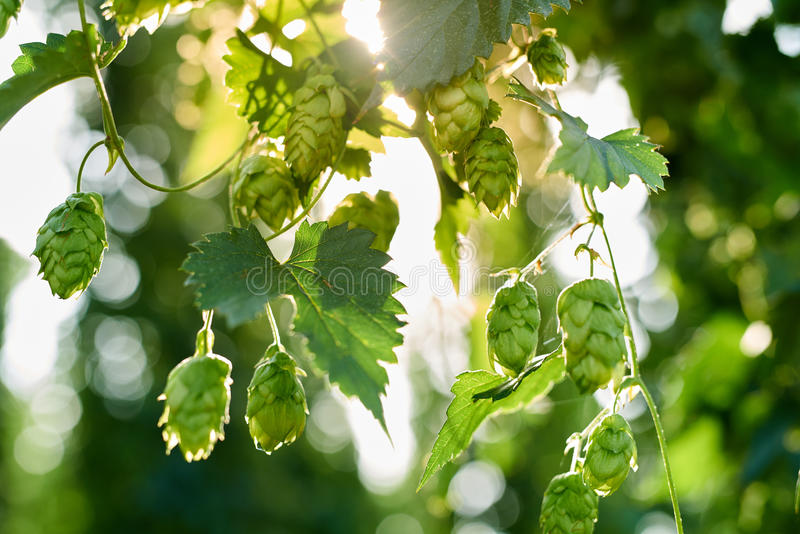 Ripe hop cones in the field stock images