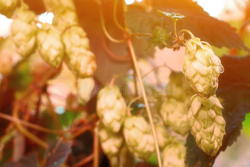 Ripe hop cones in the garden. Beer production component. stock image
