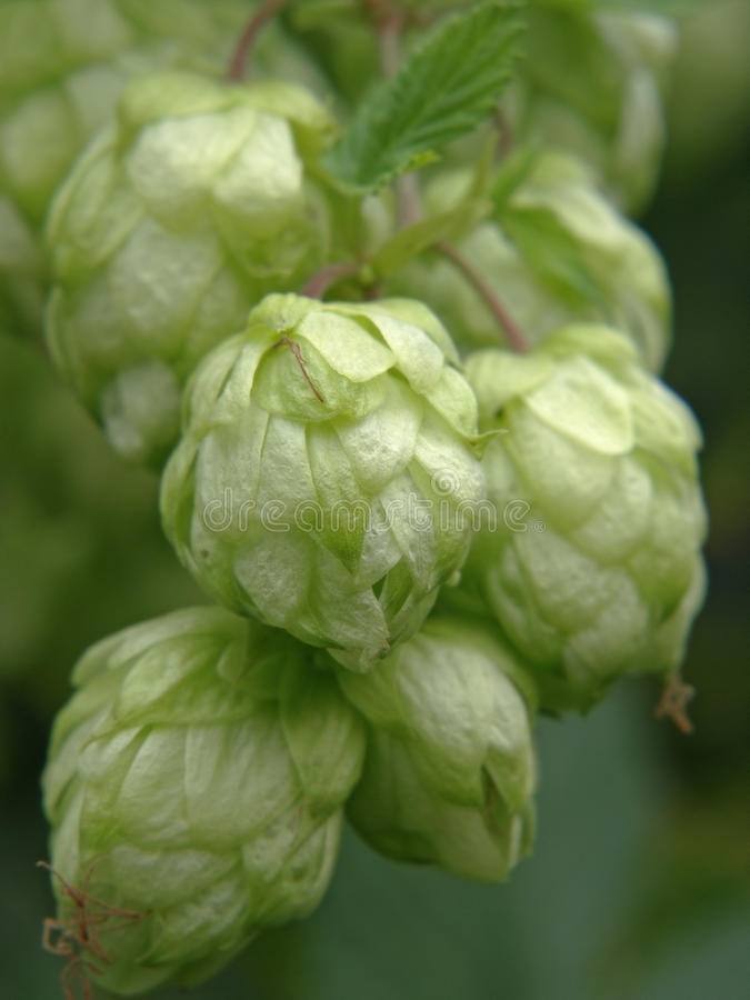 Ripe hop cones. royalty free stock images