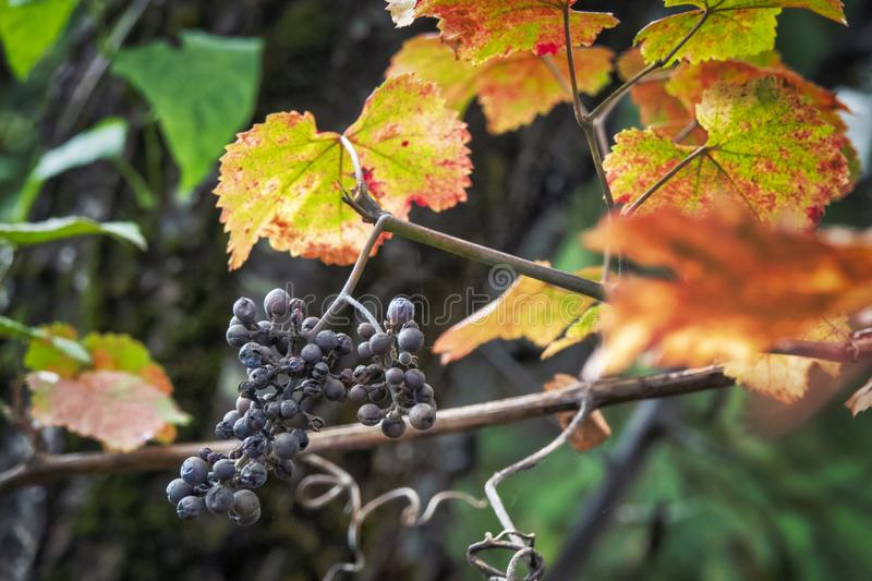 Ripe Isabella grape royalty free stock images