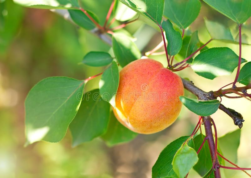 Ripe juicy apricot on branch. royalty free stock photos