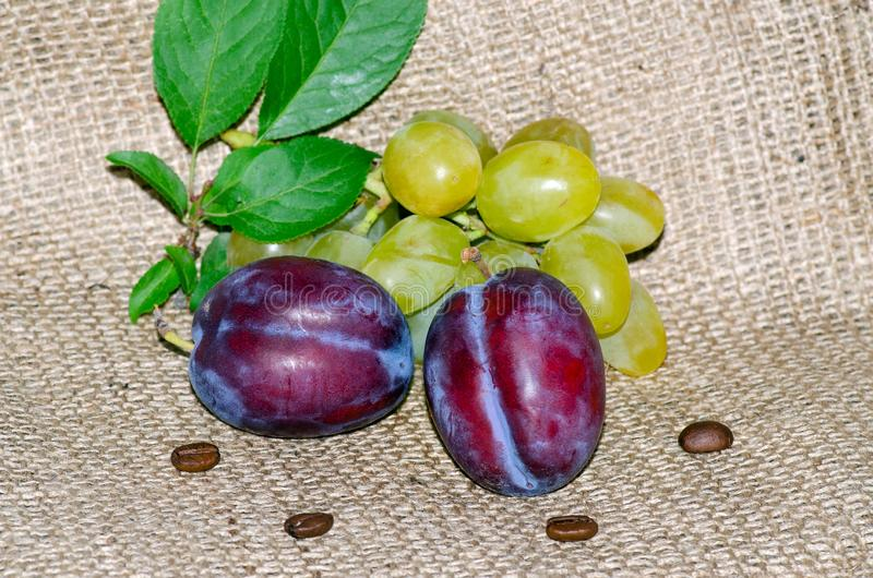 Ripe juicy blue plums, coffee grains, grapes and a green twig lie on a rough canvas, concept of autumn fruit harvest royalty free stock images