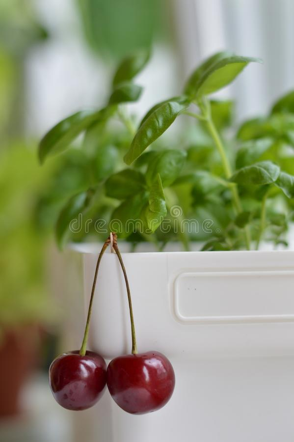Cherry, plate, sweet cherry, ripe cherry, red, juicy, spine, vase, basil, fragrant, green basil, juicy, bright stock photo
