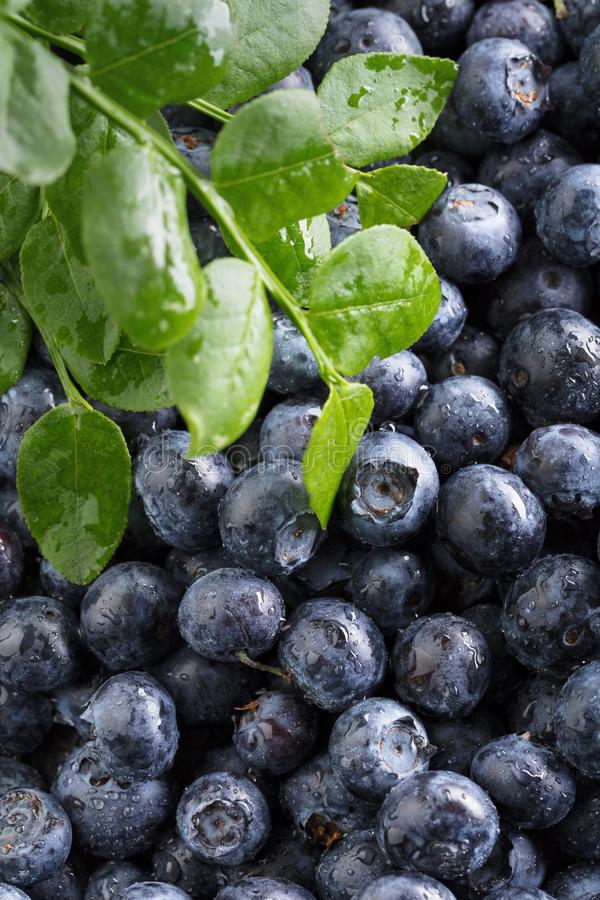Ripe and juicy fresh picked blueberries closeup stock photography