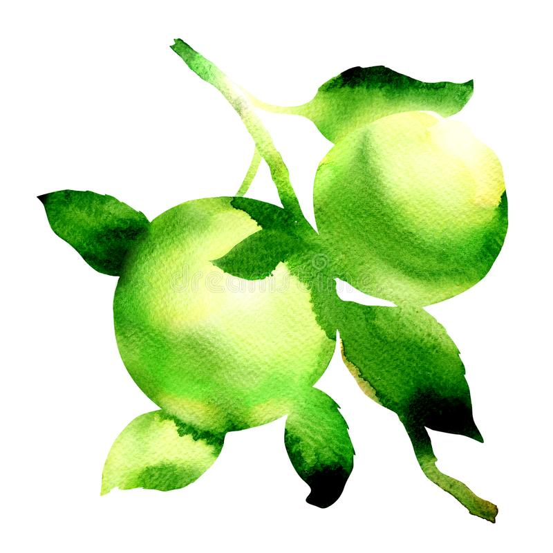 Ripe juicy green apples with leaves on a branch, organic apple branches, fresh fruits isolated, hand drawn watercolor stock illustration