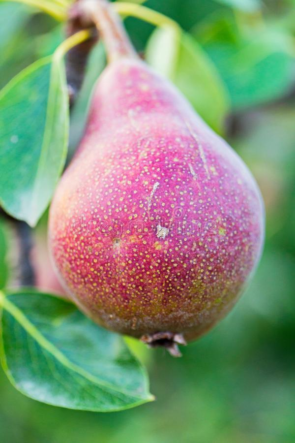 Ripe juicy red pear on a branch with green leaves in macro photography. For your design stock photography