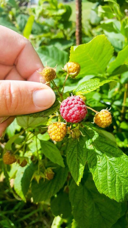 Ripe June raspberries royalty free stock image