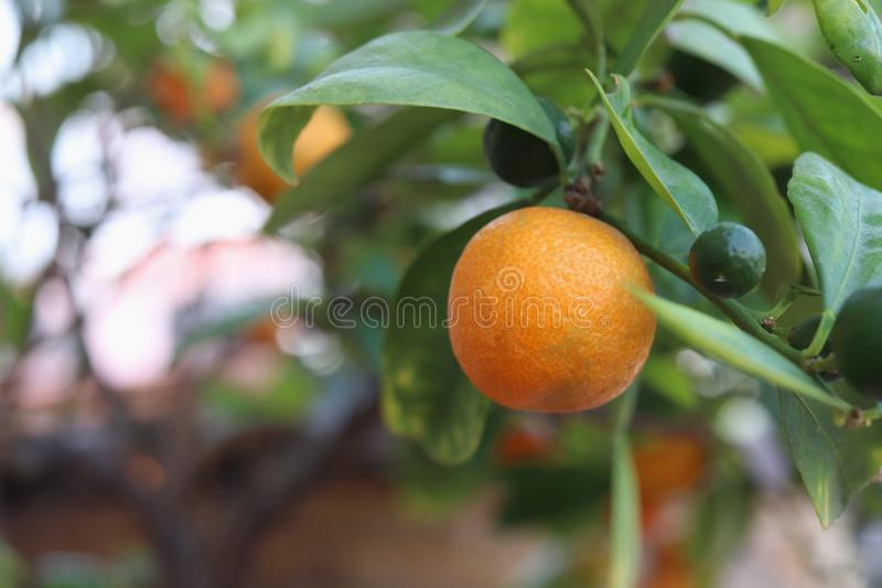 ripe kumquat , calamondine fruits on tree royalty free stock photos